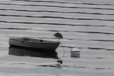 Blue Heron, Fox island, WA