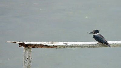 Belted Kingfisher 07808