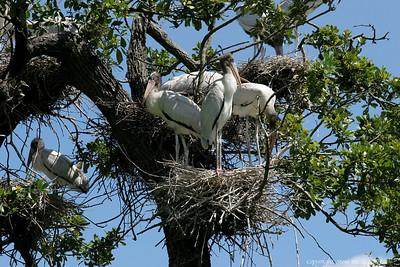 Juvenile Wood Storks