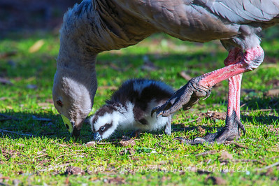 Cape Barren Goose and gosling