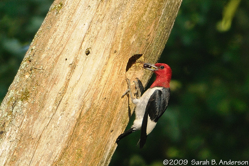 Everyone needs a little fruit in their diet<br /> Red-headed Woodpecker delivering to the nest<br /> <br /> Hughes Hollow, Montgomery County, Maryland<br /> July 2009