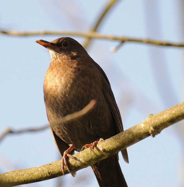 Cornwall birds 2009