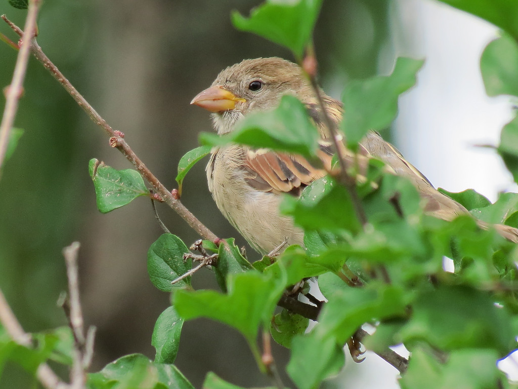 Sparrow in the Lilac Tree.<br /> The niger seed feeder is hanging close by and she<br /> wants me to leave so that she can go to the feeder.<br /> I hadn't known that sparrows would go to a finch feeder like that.
