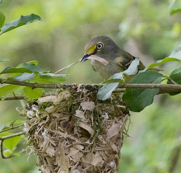 White-eyed Vireo working on nest