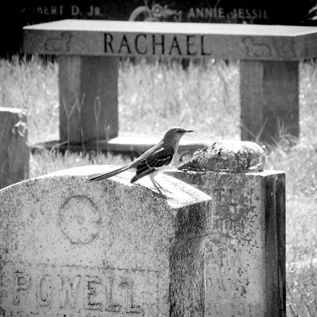 Cemetery Mockingbird