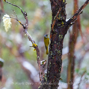 Yellow-throated Honeyeater, Cradle Mountain National Park, Tasmania