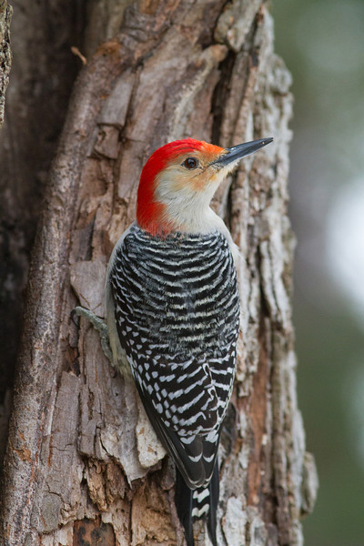 Red-bellied Woodpecker - March 2013