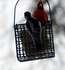 Woodpecker was eating and the cardinal shows up. next few photos are their interaction