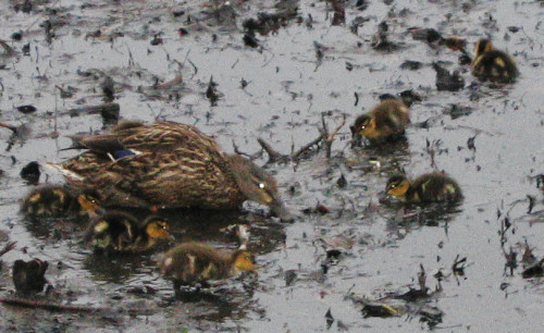 A female mallard duck (Anas platyrhynchos) with ducklings (193_9336)