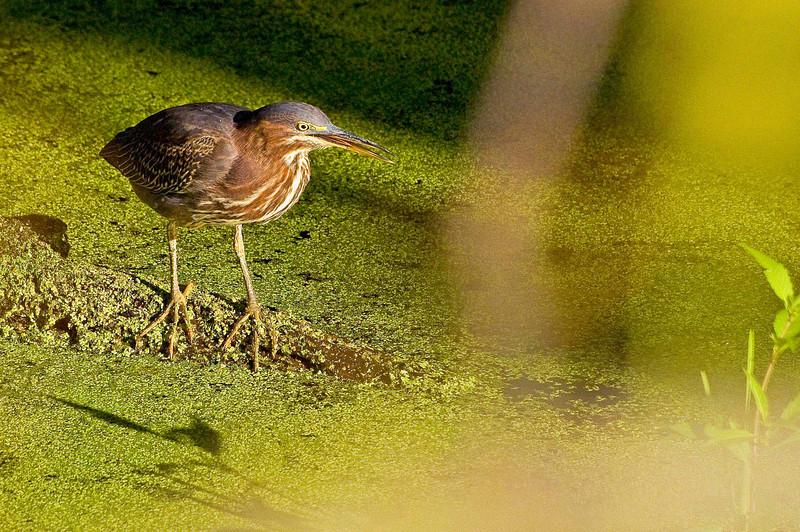 Green Heron, near Beaver Marsh, 9/4/09.