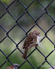 House Sparrow - female (Passer domesticus)