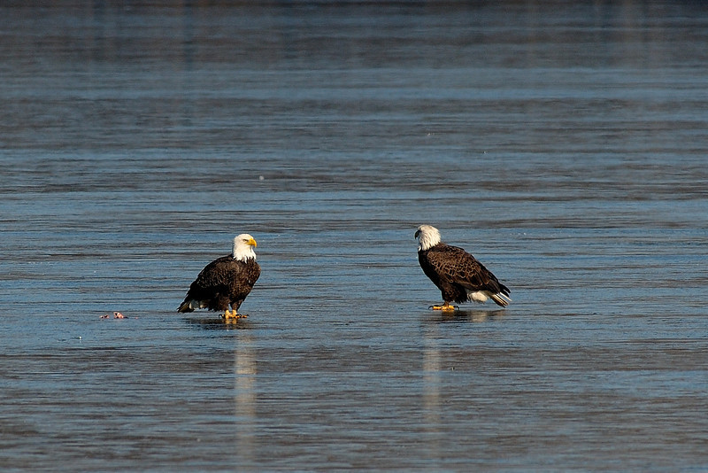 Bald Eagles on ice<br /> Potomac River<br /> Fairfax County, Virginia<br /> January 2009