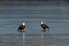 Bald Eagles on ice<br /> Potomac River<br /> Fairfax County, Virginia<br /> January 2009