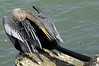 Female Anhinga preening at the South Jetty - Dec 19, 2009