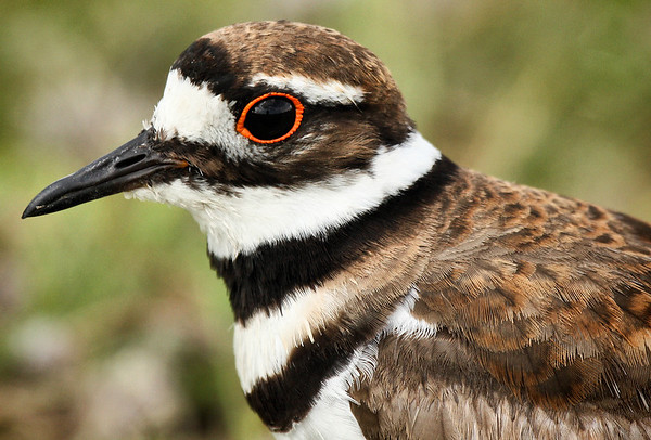 Close-up of a killdeer (Charadrius vociferus) (2009_06_03_021915_c)