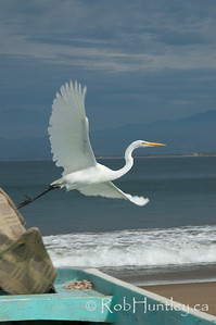 White heron taking off after perching on the gunwale of a fishing boat at Barra de Potosi, Mexico. © Rob Huntley