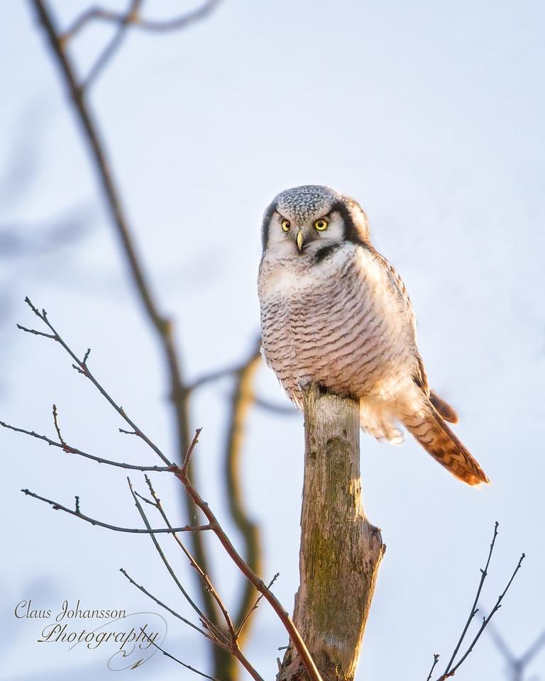 Northern hawk-owl