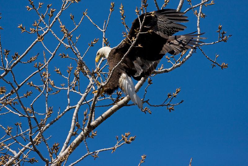 Bald Eagle - April 2008