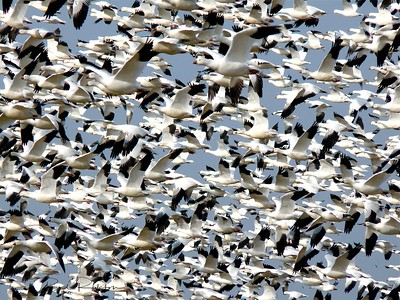 Snow Geese Migration Flock