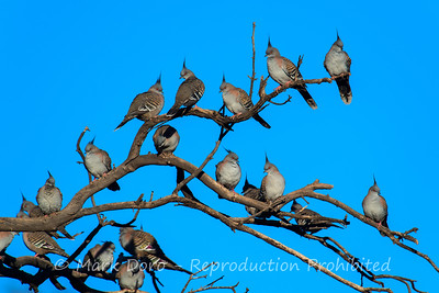 Not sure what the collective noun is for a group of Crested Pigeons. Darling River, NSW
