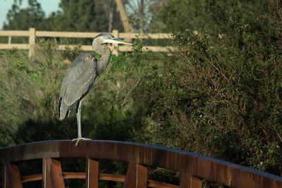 A great blue heron posing nicely for me on a bridge railing.  (Sepulveda Basin Wildlife Reserve)