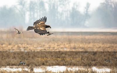 Bald Eagle Recon