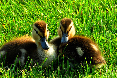 Nature, Photography, Green, Birds, Baby, Ducks, Bird,6556