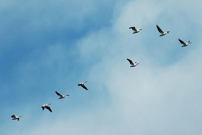 Pelicans at Sepulveda Basin