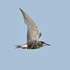 Black Tern in Galveston, Texas