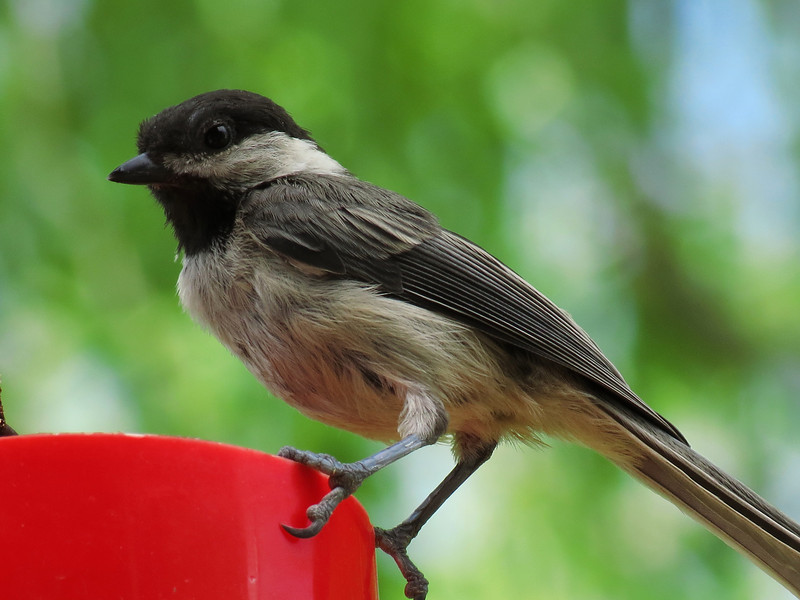 Chickadee enjoying a break from the 100 degree temperatures.