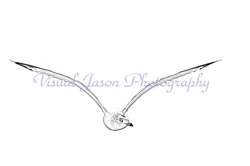 sea gull tracing