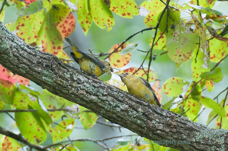Adult Scarlet Tanager and fledgling