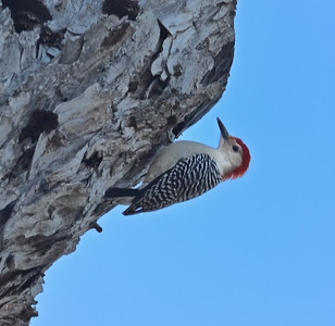Woodpecker. Hornsby bend - Austin, TX 2012  .……………….[ Copyright © - Photo by Barry Jucha ]