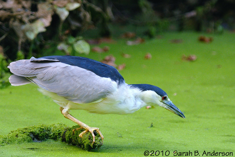 Black-crowned Night Heron<br /> <br /> C&O Canal National Historical Park<br /> Montgomery County, Maryland<br /> August 2010<br /> Nikon D300, Nikon 300 2.8 vr I, Nikon 1.4tc