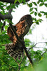 Barred Owl stretch<br /> Fairfax County, Virginia