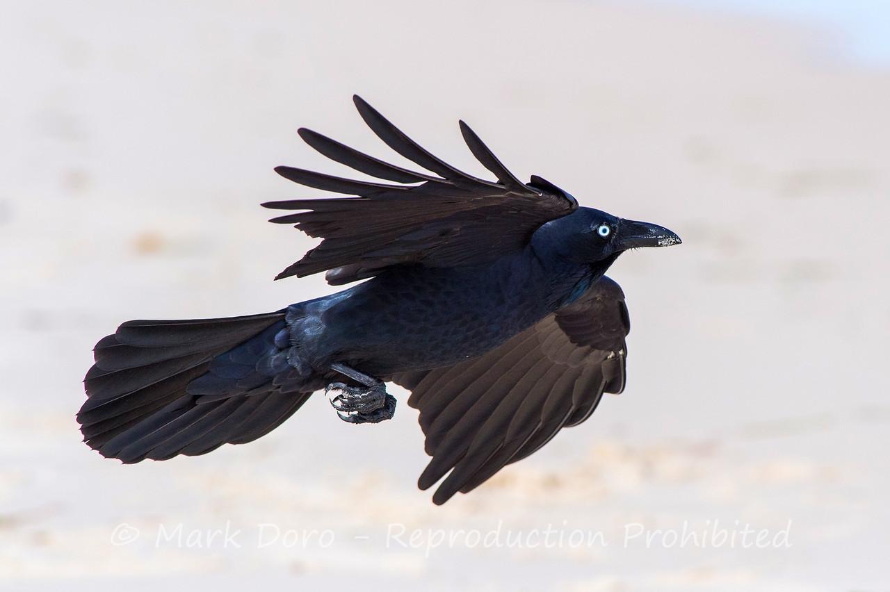 Australian Raven, Hawks Nest, New South Wales