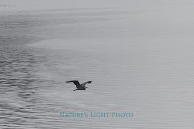 Blue Heron and Fog, Fox Island, WA