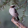 White Browed Sparrow-Weaver