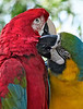 Scarlet Macaw and Blue and Gold Macaw, St. Augustine, Florida