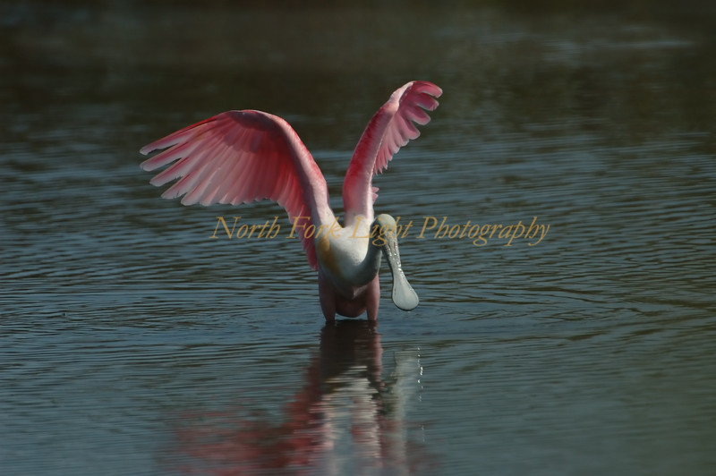Spoonbill shows its pink