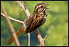 Song Sparrow<br /> (Melospiza Melodia)