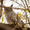 2018 November 1 Great Horned Owl