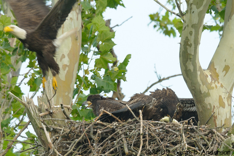 The fish tussle ends with the victorious eaglet displaying the reward<br /> <br /> Montgomery County, Maryland<br /> June 2009