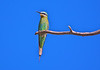 Little Green Bee-eater, Okavango Delta, Botswana 2005