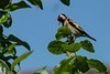 European goldfinch, Chepstow, Wales 07-03-2018
