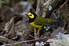 Hooded Warbler - April 2012