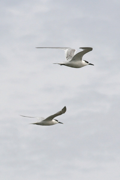 visdiefje - (Sterna hirundo) - common terns