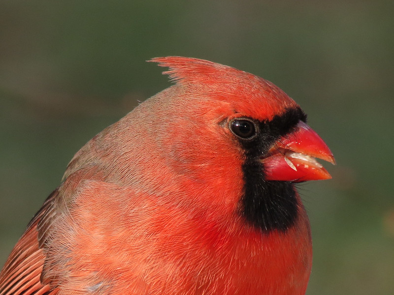 Christmas Eve Cardinal with the setting sun reflected in his eye.