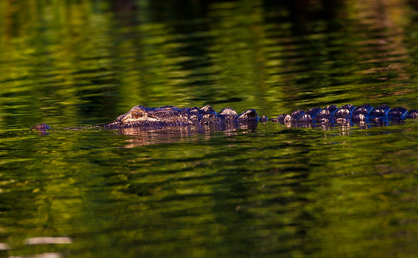 Ble Gator Green Water