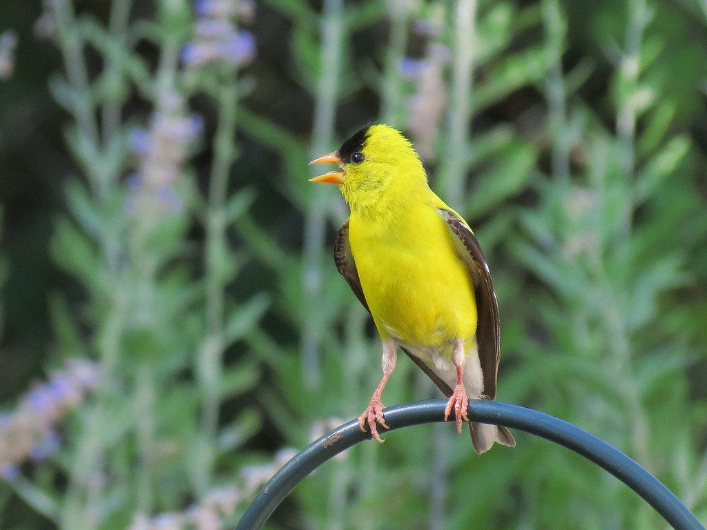 Male American Goldfinch with Russian Sage in the background.